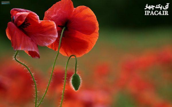 گل شقایق سرخ چه خواص و فوایدی دارد؟